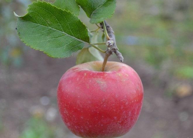 Сорт яблони благая весть: фото, отзывы, описание, характеристики