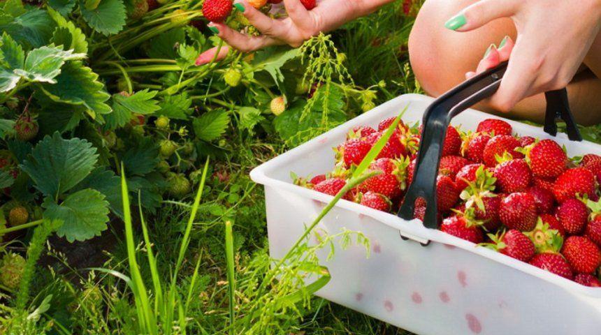 Выращивание клубники в теплице круглый год: технология и отзывы
