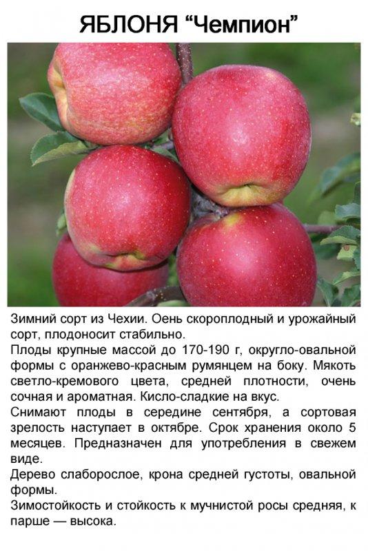 Описание и характеристики яблони сорта Чемпион, технология выращивания