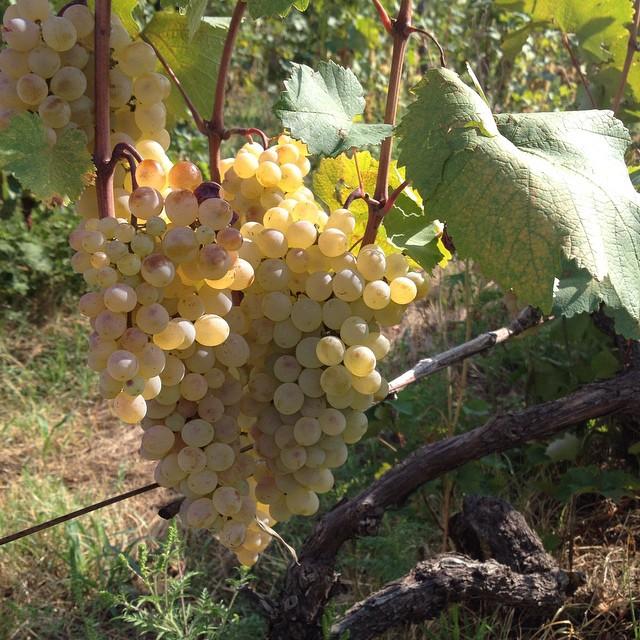 Виноград ркацители: описание сорта винограда