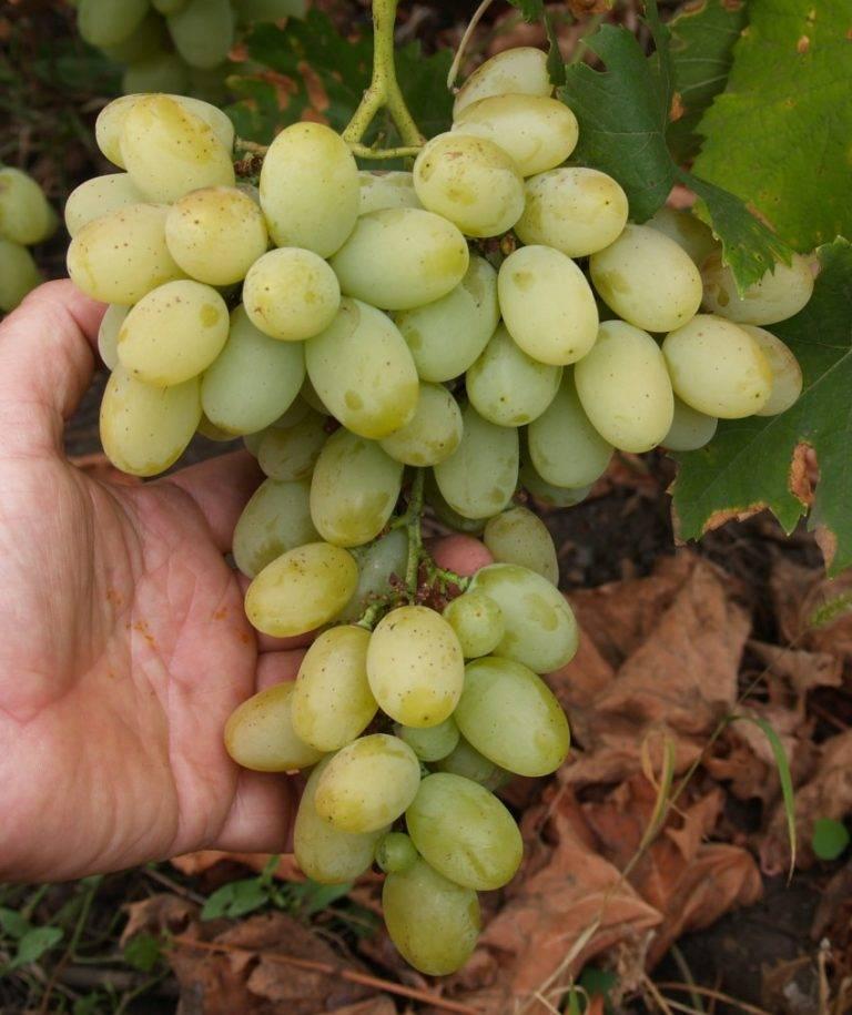 Сорт винограда кишмиш 342, описание с характеристикой и отзывами, а также особенности посадки и выращивания, фото