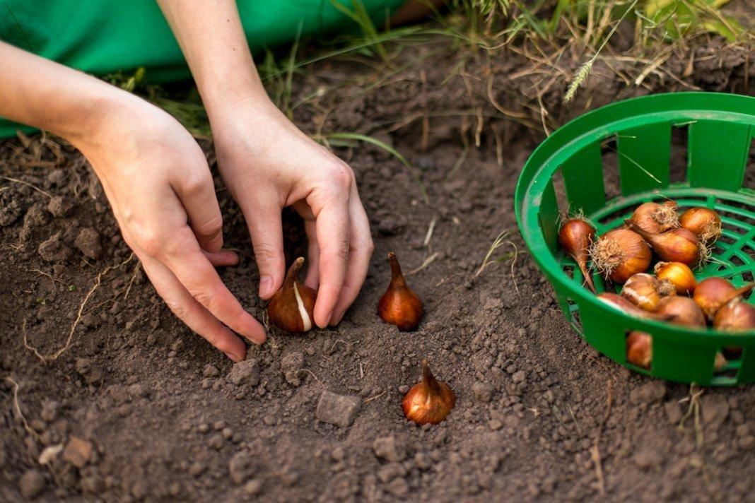 Как и когда правильно посадить лук, чтобы были крупные луковицы
