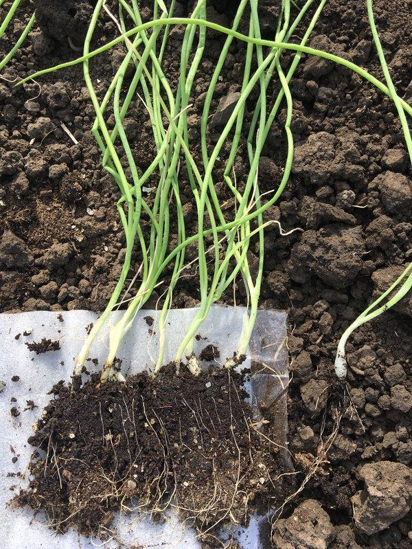 Выращивание лука эксибишен через рассаду в сибири: сроки посева, и когда сажать, как вырастить из семян и правильно ухаживать?