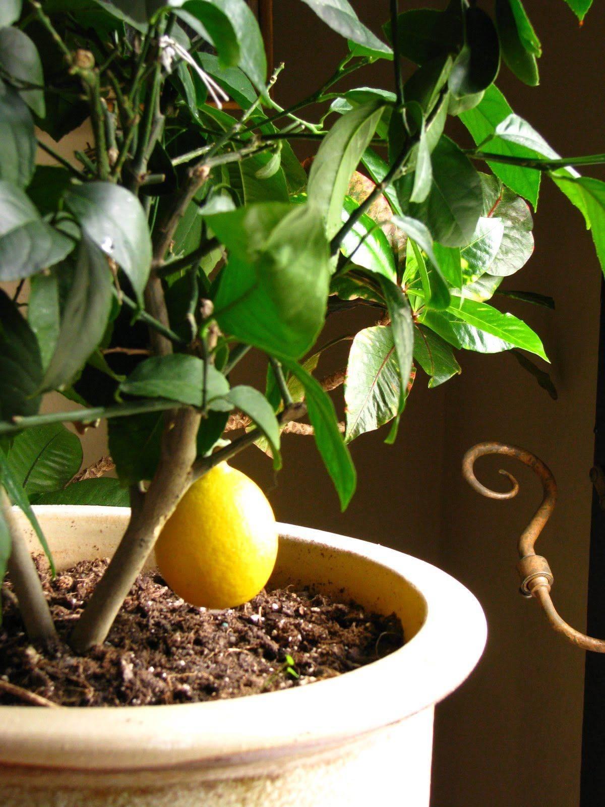Лимон лунарио: описание сорта, выращивание и уход в домашних условиях, фото