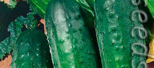 Рекомендации по выращиванию сорта огурцов «муромский 36»