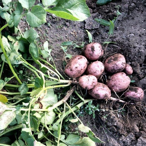 Картофель сорокодневка: характеристика и описание сорта, фото, отзывы