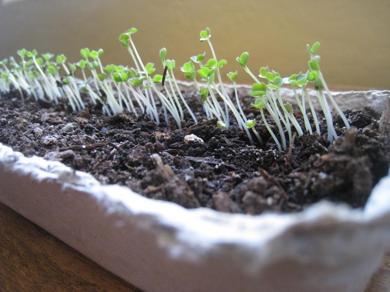 Выращивание рукколы на подоконнике круглый год