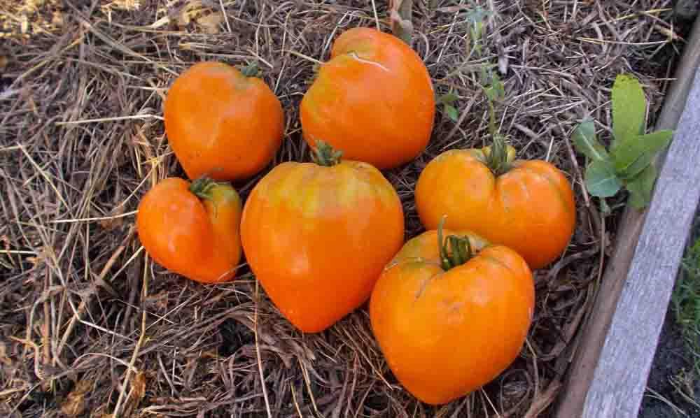 Семена:томат лискин нос /fox nose/оранжевое сердце/. томаты, семена овощей. , , . продажа и доставка по краснодару и россии.