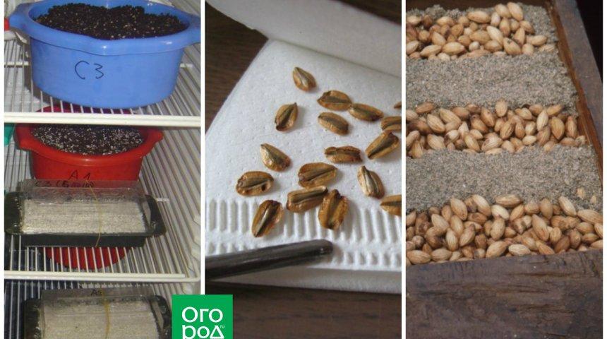 Как посадить вишню из косточки - в рассаде