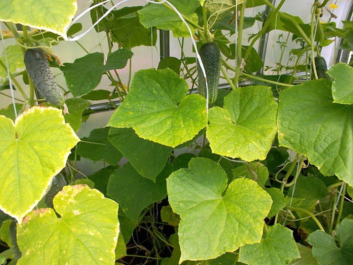 Листья у огурцов в теплице побелели