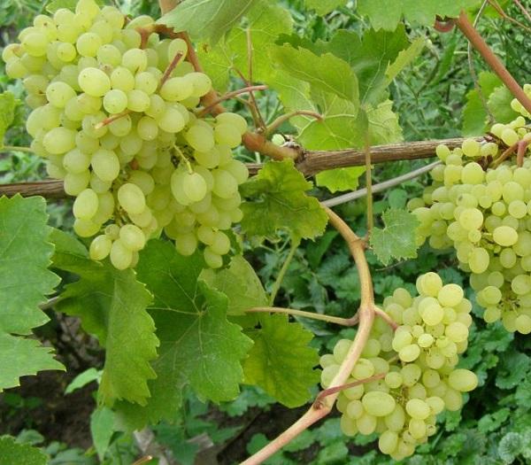 Виноград русбол: описание сорта, фото, отзывы