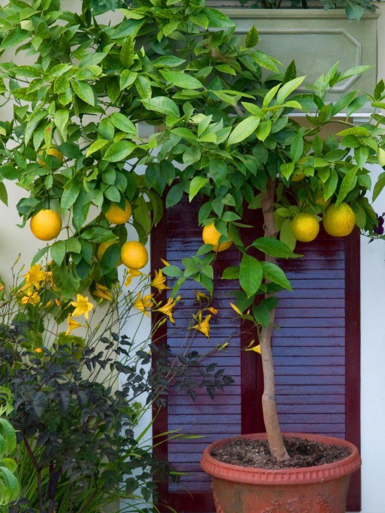 Как вырастить из апельсиновой косточки плодоносящее дерево