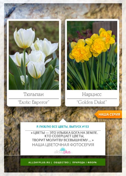 Нарцисс реплит: описание и характеристики сорта, выращивание и уход за цветком с фото
