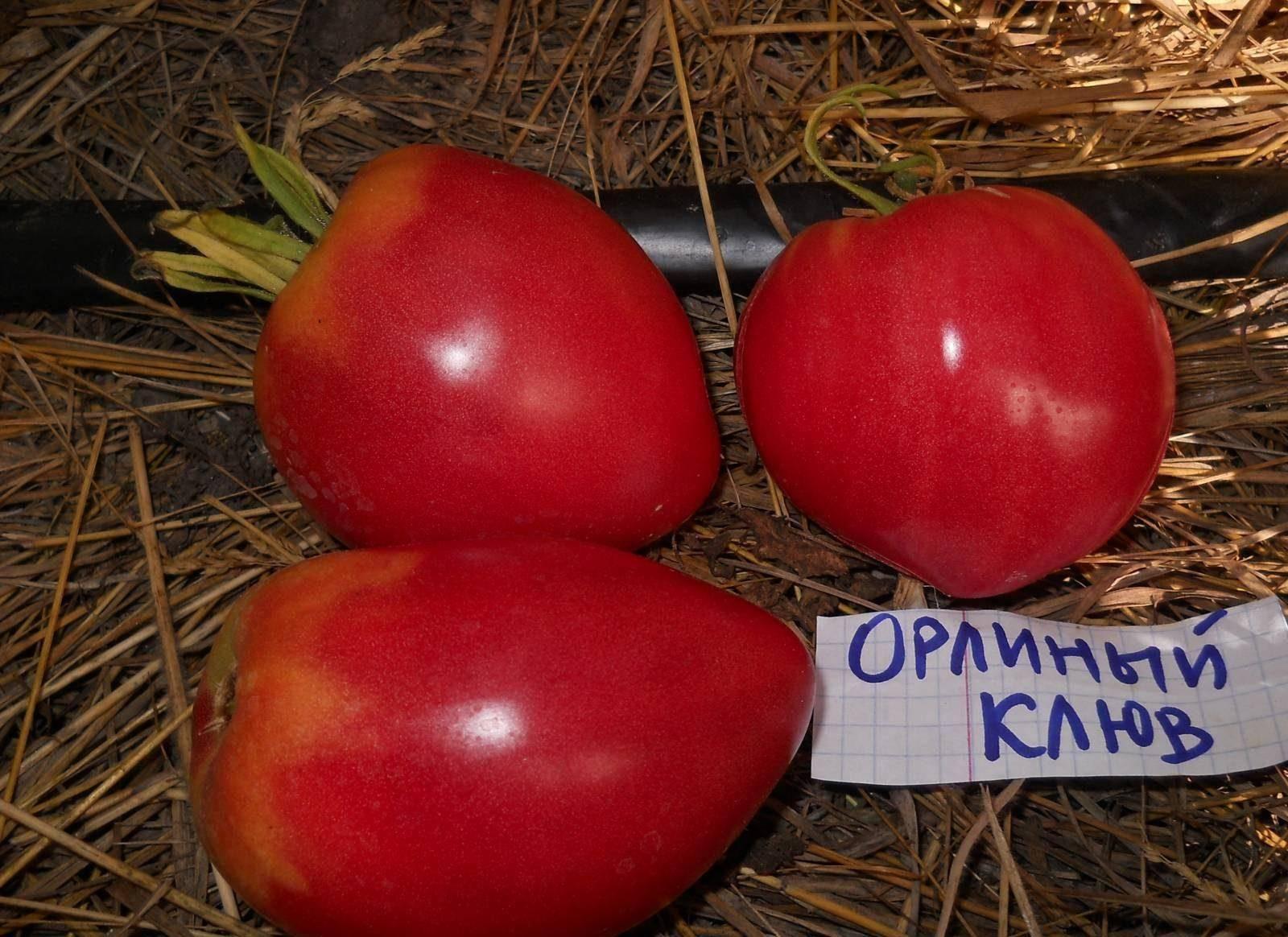 Томат орлиный клюв: характеристика и описание сорта - сад и огород своими руками