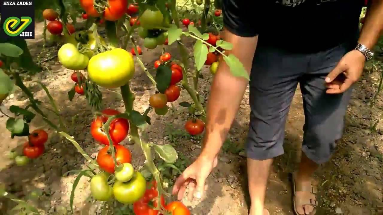 Томат белфорт f1: описание сорта, отзывы, фото, урожайность