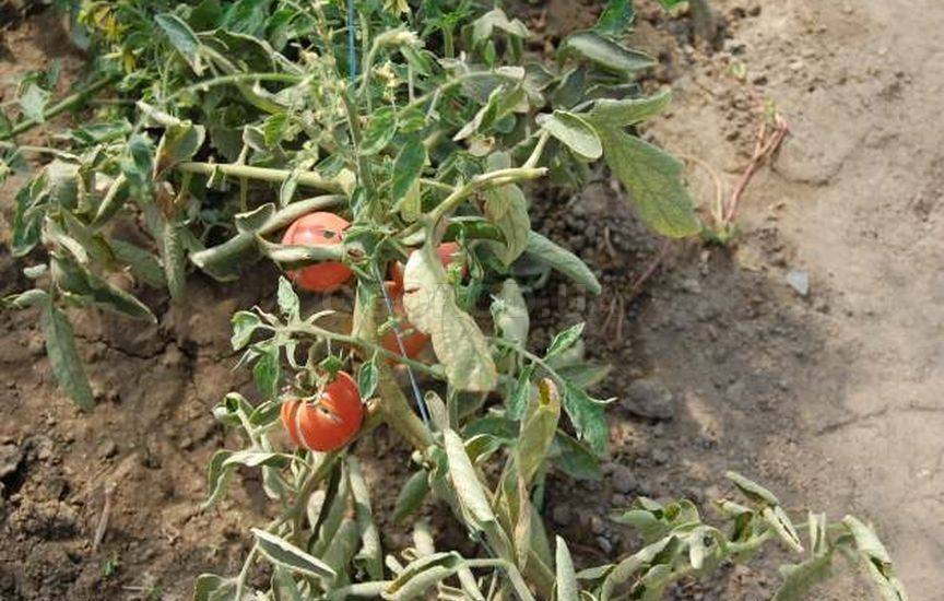Фузариозное увядание томатов: признаки болезни и лечение