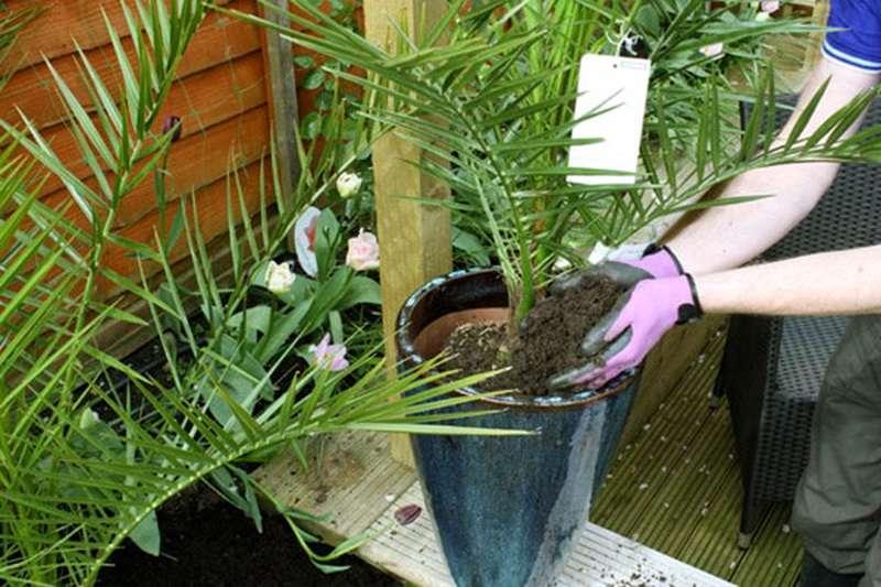 Выращивание финиковой пальмы из косточки в домашних условиях, посадка и уход