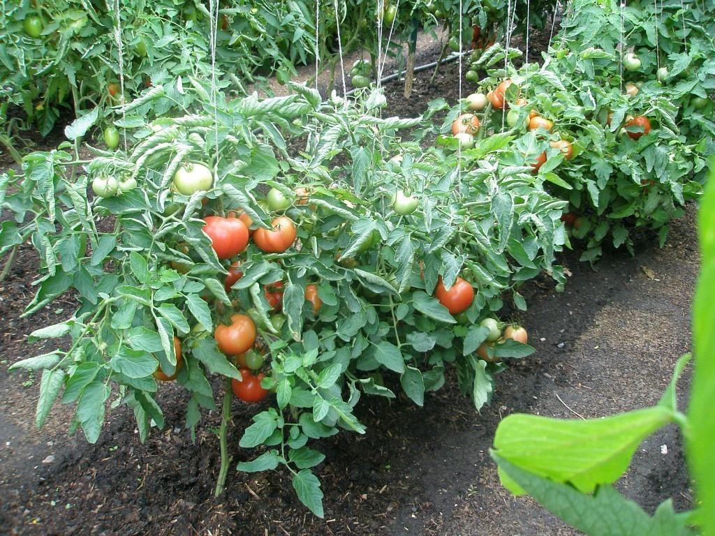 Ленивый способ выращивания помидоров опробованный годами