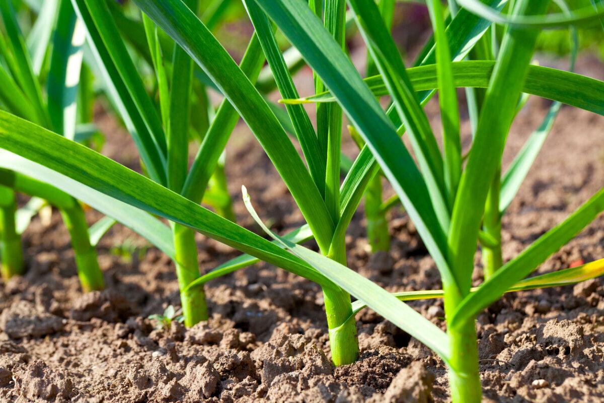 Что делать если лук желтеет: чем полить и подкормить, покупные удобрения и народные средства от желтизны