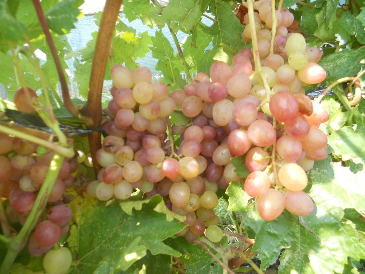 Виноград русбол: проверенный кишмишевый советско-болгарский сорт