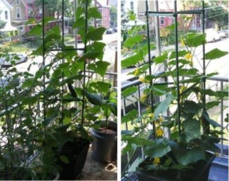 Как правильно подвязать огурцы в открытом грунте и теплице из поликарбоната - огород, сад, балкон - медиаплатформа миртесен