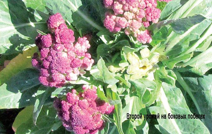 Цветная капуста не завязывается в кочан: что делать и чем подкормить для формирования