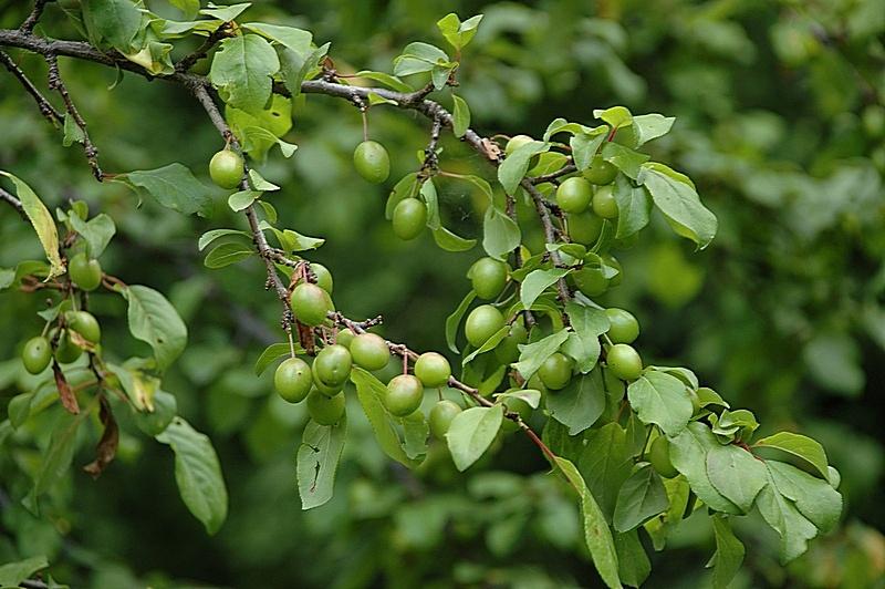 Почему слива сбрасывает зеленые плоды - поиск причины и советы по выбору удобрений (75 фото)