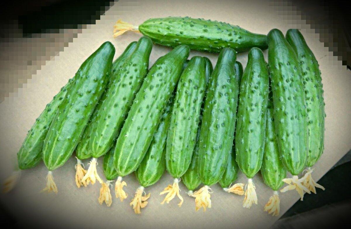 Описание сорта огурца мамлюк, его выращивание и уход - всё про сады