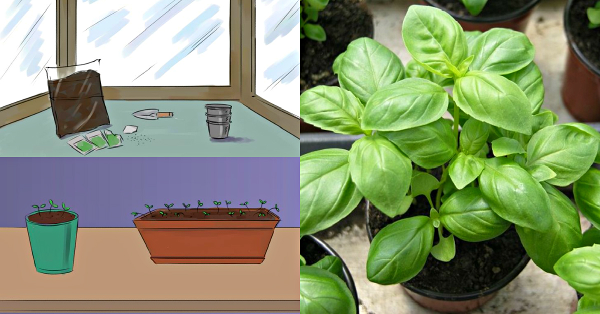Базилик — выращивание из семян в домашних условиях на подоконнике