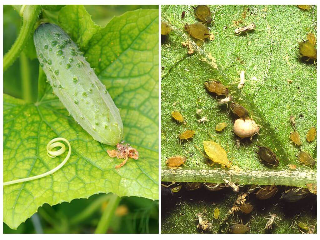 Белокрылка в теплице на огурцах: как избавиться от белых мошек и букашек на огороде