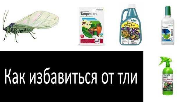 Описание препаратов и народных средств, чем обработать грушу, чтобы избавиться от тли