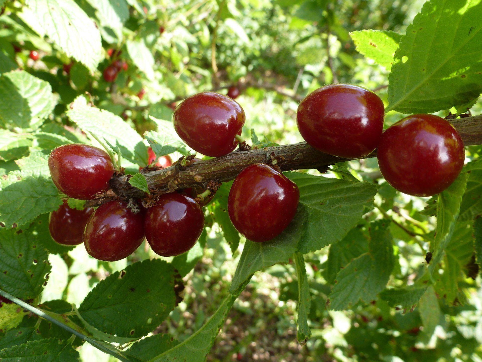 Описание войлочной вишни натали