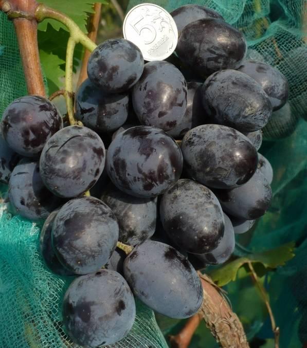 Виноград зилга: урожайный устойчивый к холодам сорт