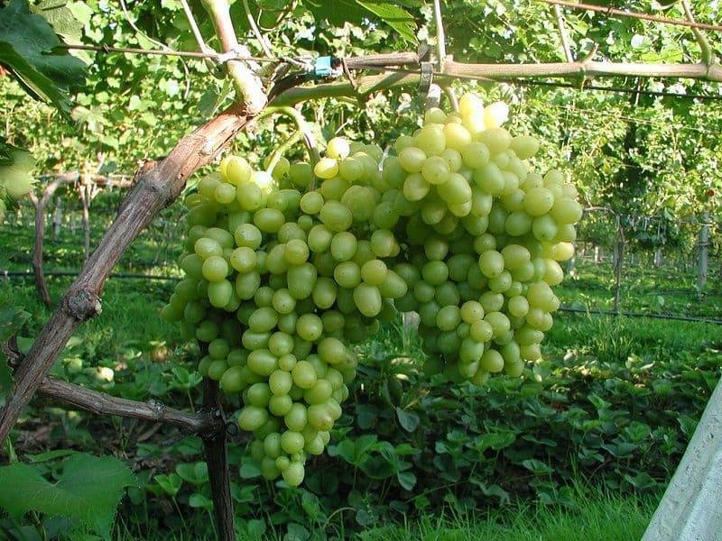 Виноград супер экстра: отзывы опытных виноградарей