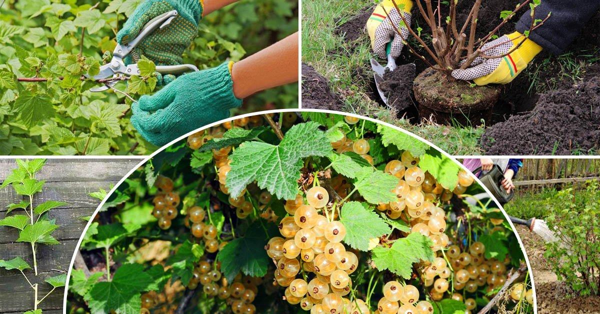 Выращивание и уход за белой смородиной, описание лучших сортов