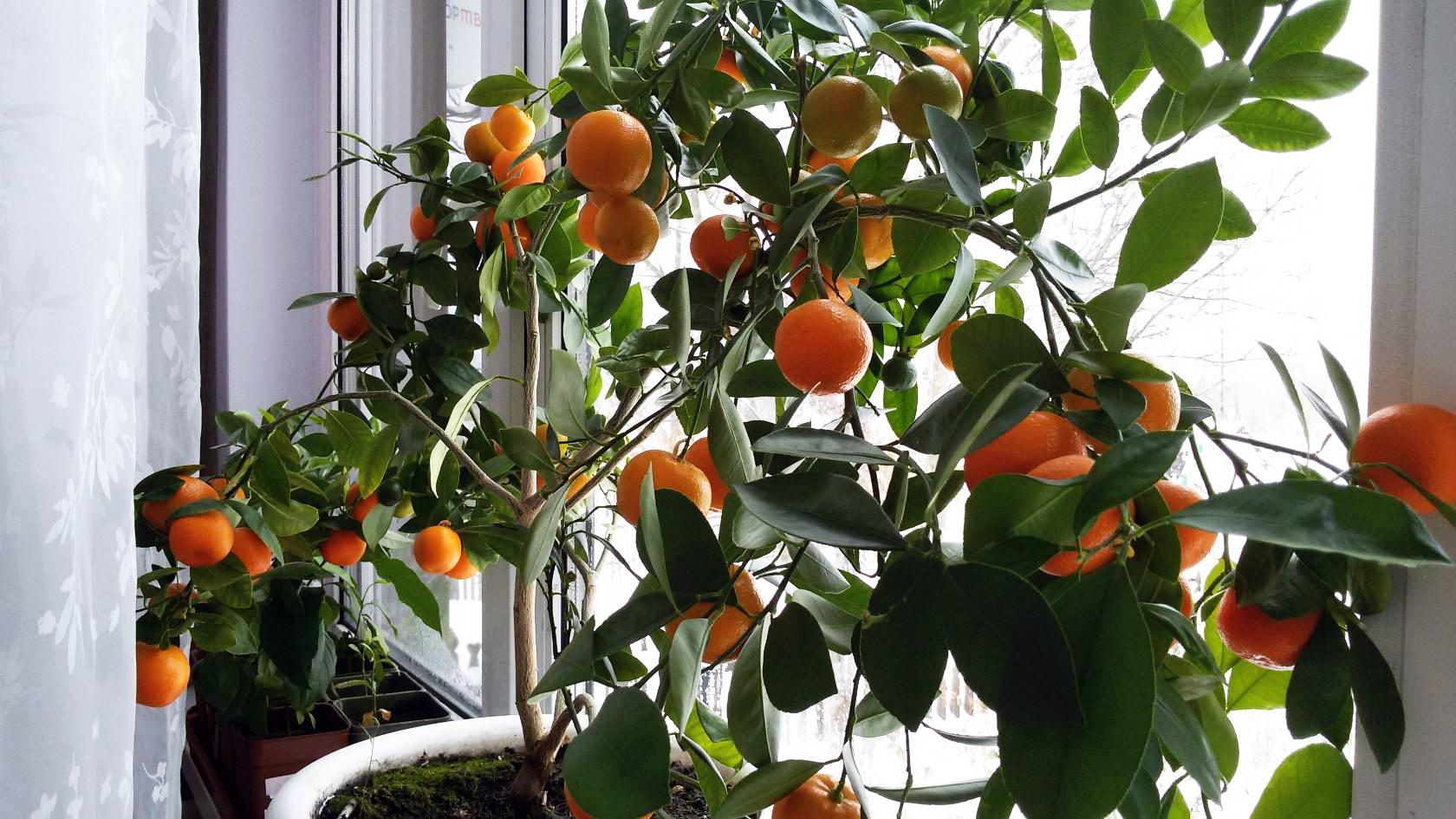 Фруктовая оранжерея: как вырастить апельсин из косточки в домашних условиях с плодами, посадка и уход, фото