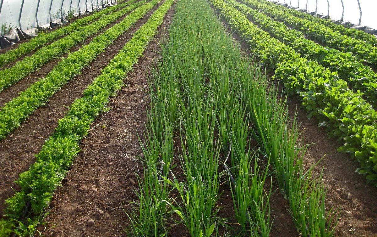 ᐉ выращивание кинзы в теплице зимой: как подготовить теплицу и грунт? - orensad198.ru