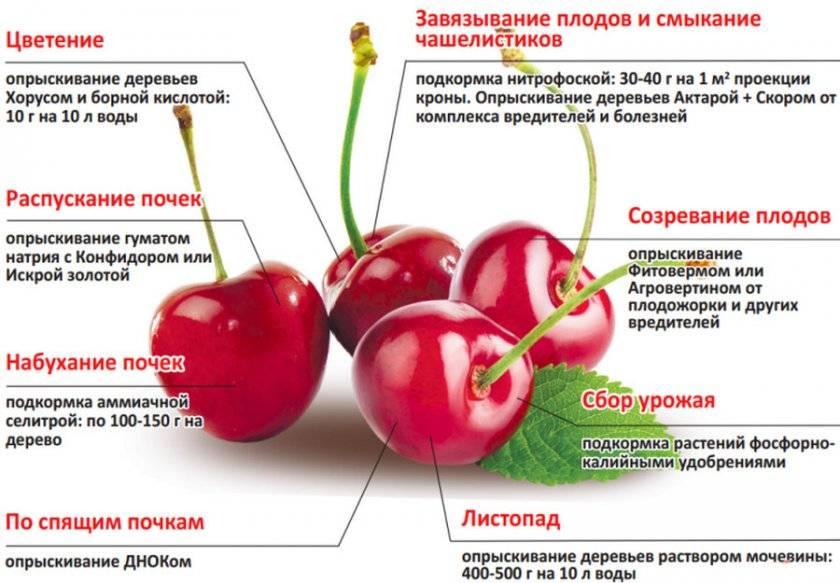 Черешня бряночка: описание, особенности агротехники, фото