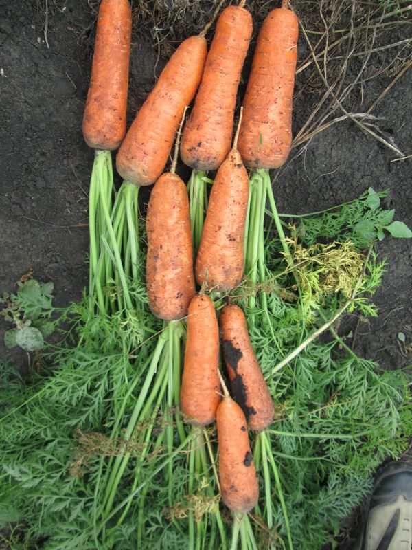 Описание сорта моркови Абако и выращивание из семян