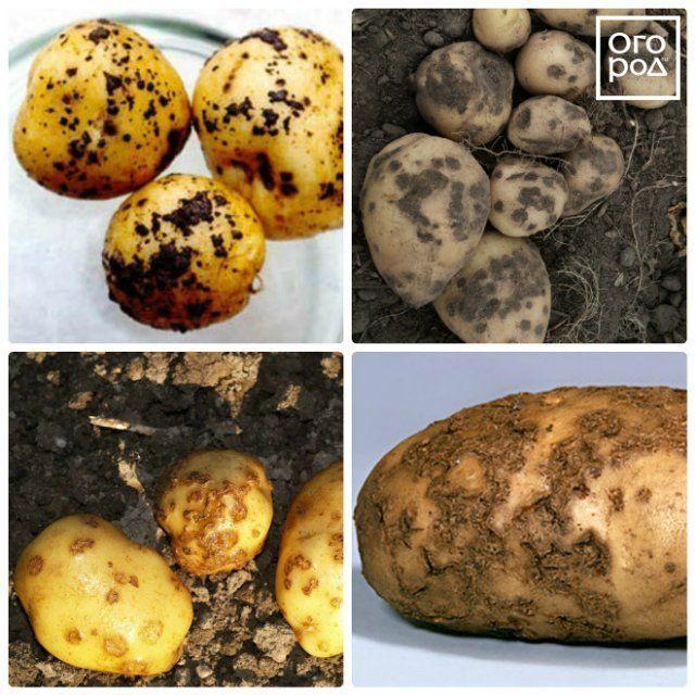 Парша картофеля (ризоктониоз): описание, как бороться, лечение, фото