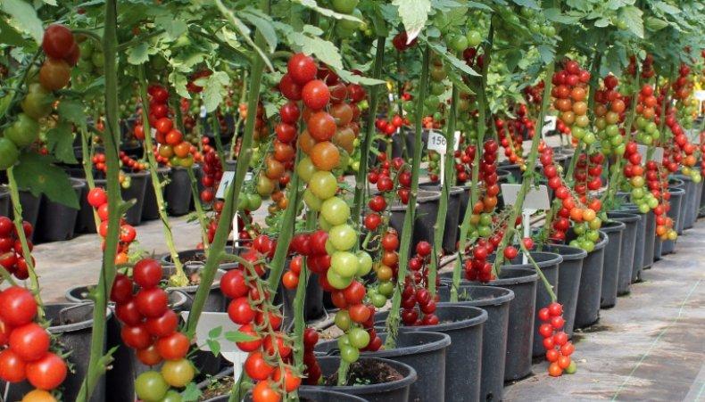 Какие томаты посадить в теплице в подмосковье в 2021 году: лучшие сорта