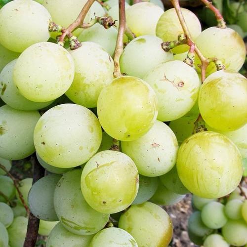 Виноград кеша: описание сорта с характеристикой и отзывами, особенности посадки и выращивания, фото