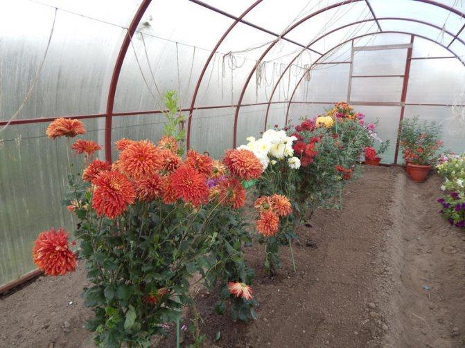 Как посадить садовую хризантему осенью правильно? выбор саженца хризантем для осенней посадки (фото) - автор екатерина данилова - журнал женское мнение