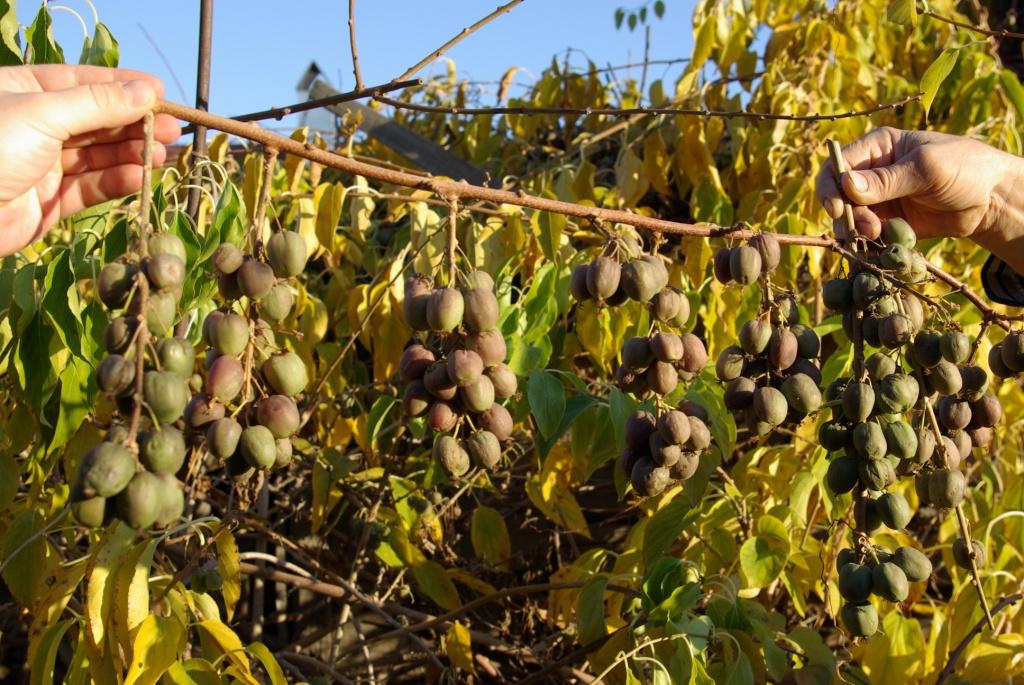 Посадка и выращивание актинидии из семян в открытом грунте