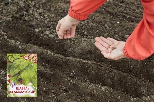 Какую почву любит щавель, на чем лучше растет рассада и как ухаживать за грунтом? русский фермер