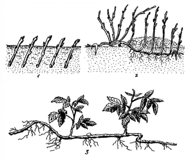 Пошаговая инструкция посадки крыжовника