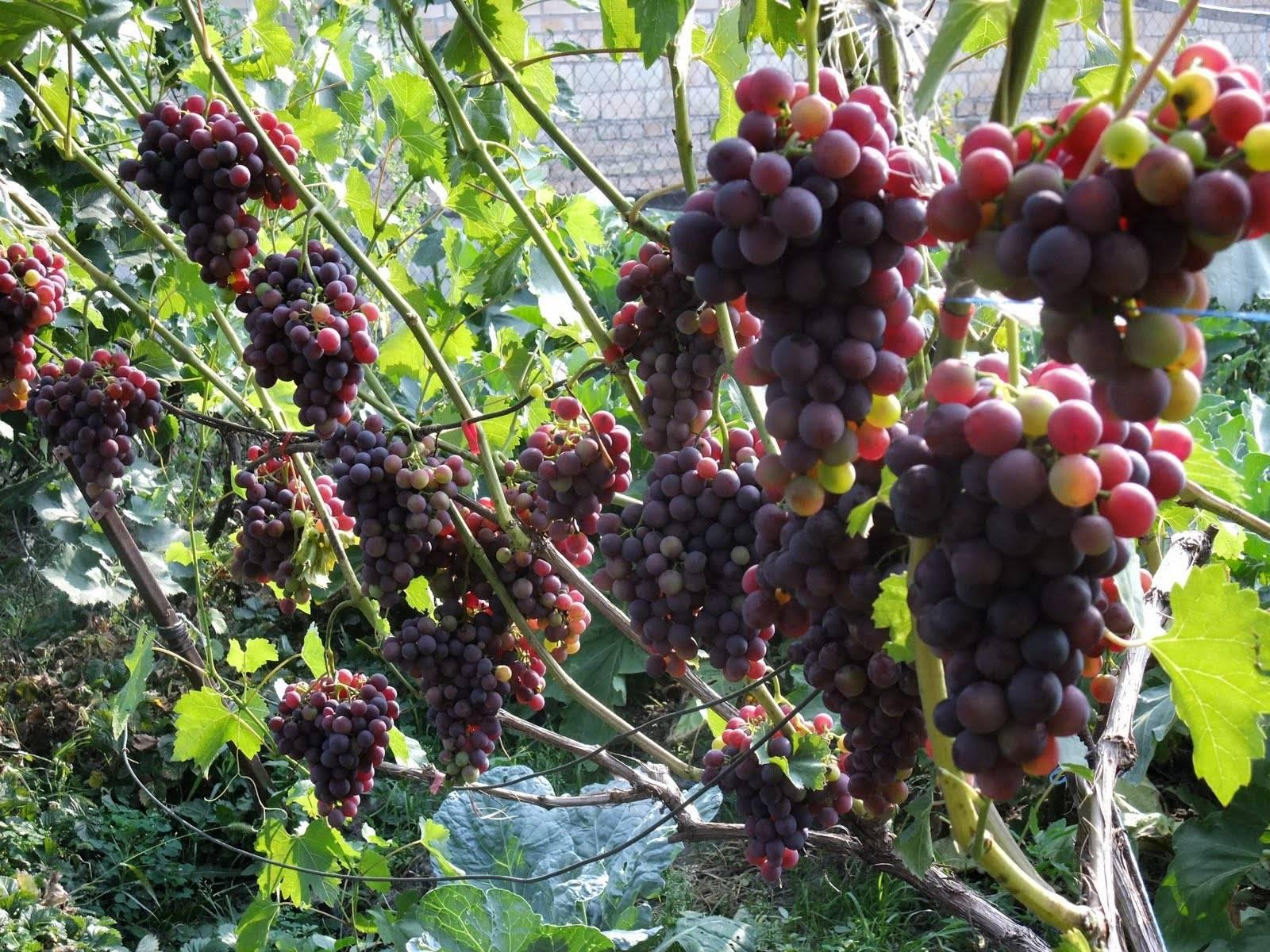 Плохо растет виноград что делать: полезные советы