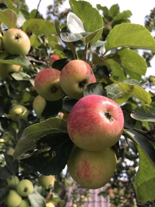 Яблоня уральский сувенир: описание с фото и отзывы садоводов