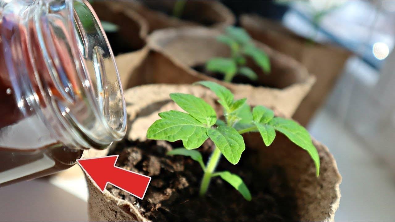7 народных средств для подкормки томатов после пикировки