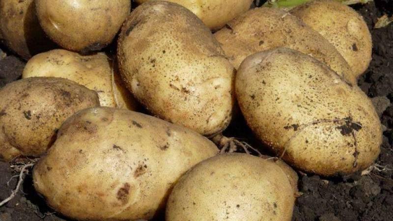 Характеристики и нюансы выращивания картофеля журавинка